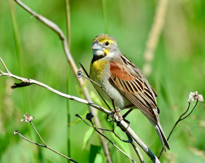 Dickcissel Photo Print - Bird Photography