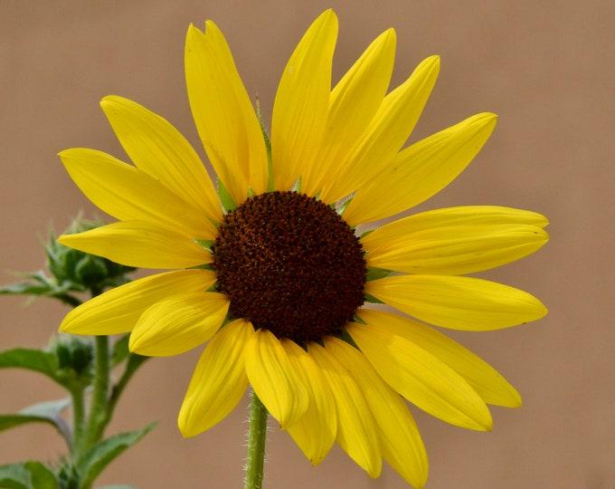Wild Sunflower Photo Print