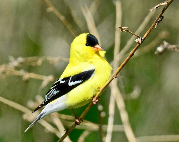 American Goldfinch Print - Photo Print - Bird Photo