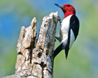 Woodpecker Print - Red Headed Woodpecker