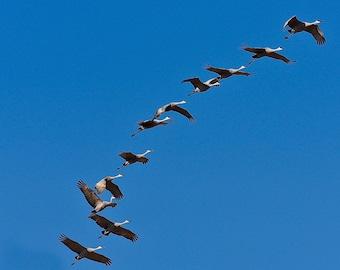 Sandhill Cranes in Flight Print - Blank Photo Note Card