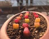 Exotic Conophytum maughanii 10 seeds