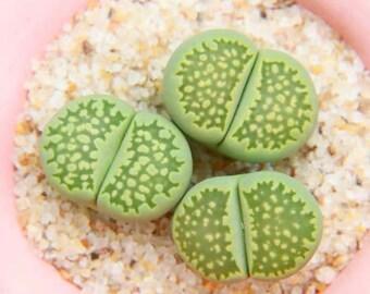 Rare Succulent Cactus LITHOPS Julii Fulleri CV Fullergreen C56A 5-10 seeds