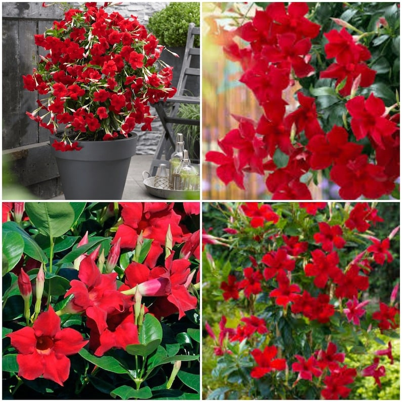Mandevilla ~ Dipladenia Red ~ Vine Live Plant 12 inches tall or more on design red, pots red, flowers red, cactus red, nature red, peppers red, ornamental grasses red, mums red, berries red, orchids red, animals red,