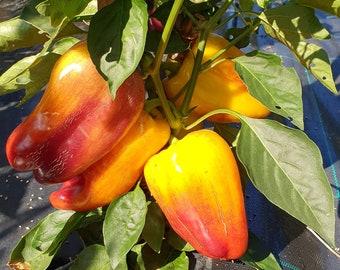 """Sweet Pepper """"Blot"""" Russian High Quality seeds"""