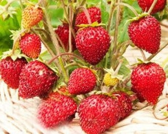 """The seeds of the Russian High Quality.Strawberries /""""Alexandrina/"""""""