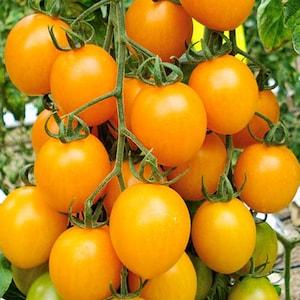 """Tomato tree Tomato /""""Slivka SPRUT F1 /"""""""
