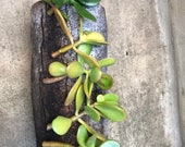 5 cuttings , jade plants , live plant money tree , lucky tree . Also known as crassula ovata .