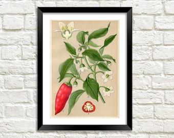 Chili Plant Print: Vintage Red Pepper Botanical Art Illustrations