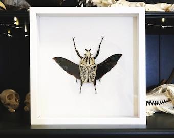 Giant Goliath Beetle Display