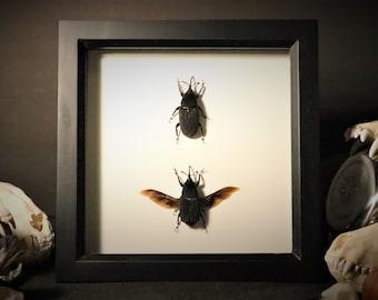 Protocerius Colossus Weevil Beetles Display