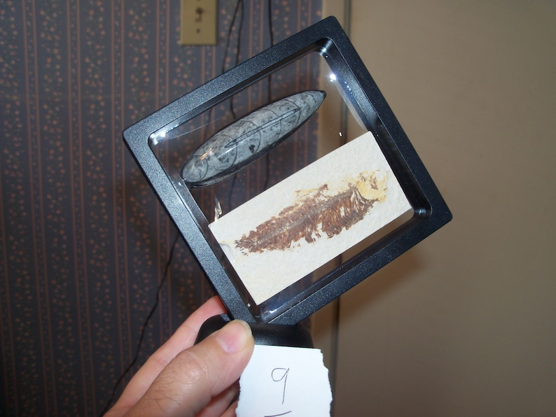 Fossil Fish and Fossil Orthoceras in large floating frame with stand.