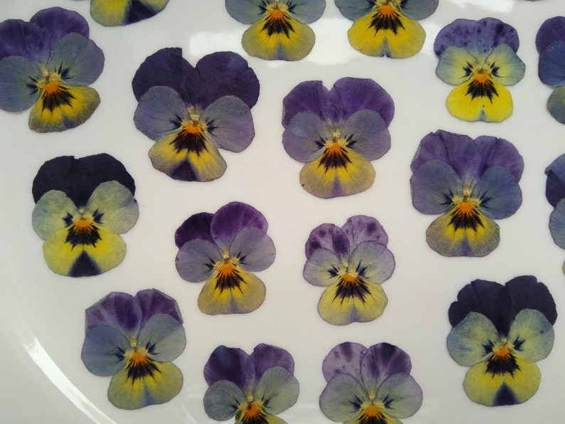 dark purple pansy 20pcs Silver J Pressed real dried flowers card making /& craft