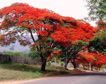 royal poinciana tree flower seeds , delonix regia seeds , 20 seeds per pack , fresh and natural