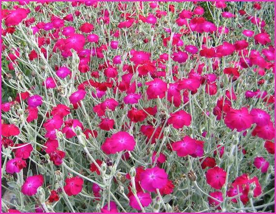 500 semi-Rose Campion LYCHNIS coronaria