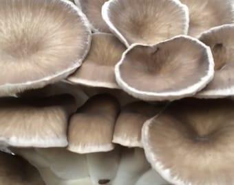 GIANT Black Pearl King Oyster Mushroom Grow Kit