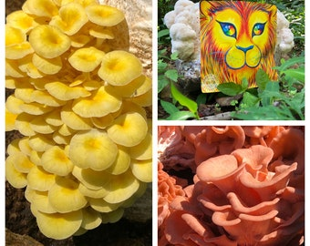 Grow at home Quartet: Pink, Gold, Black or Blue Oysters, Shiitake, Lion's Mane, Reishi, or Chestnut