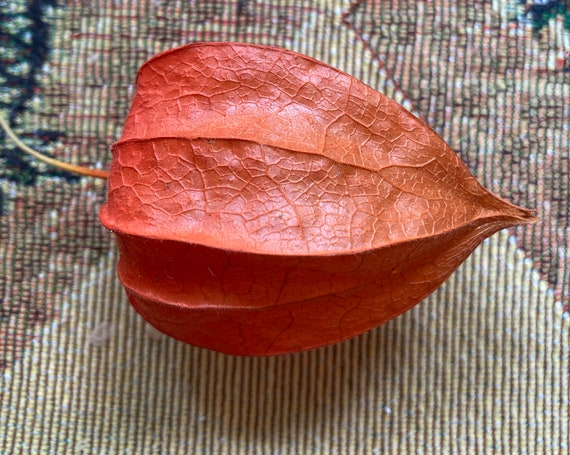 15 Natural Chinese Lantern Pods