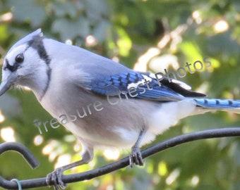 Beautiful Blue Jay Photo