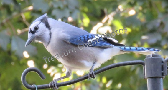 Beautiful Blue Jay Photo