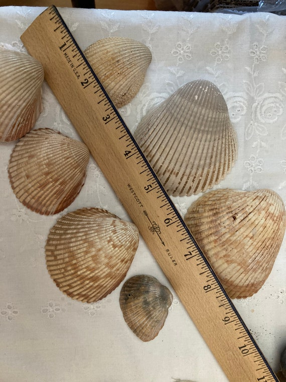 Sea Shells Right from Blondie's Closet Crafting Supplies
