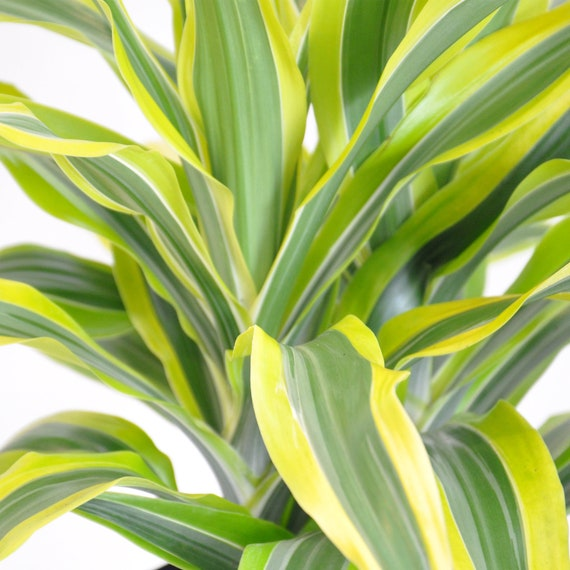 United Nursery Dracaena Lemon Lime Plant Live Indoor Warneckii Shipped in 6 inch Grower Pot 14-18 inch Shipping Size Small