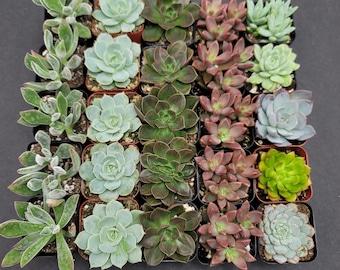"2"" - 25 Pack - Assorted Succulent Favors Collection - Wedding, Party Favors, Bridal Shower, Baby Shower, Arrangements; 5+ Varieties!"