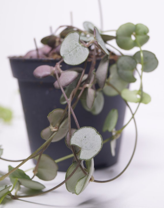 Ceropegia Woodii Silver Glory String Of Hearts House Plant RARE