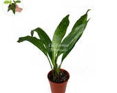 Aspidistra Elatior 39 Milky Way 39 - 4 quot from California Tropicals