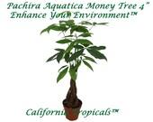 Pachira Aquatica Money Tree - 4 39 39 from California Tropicals
