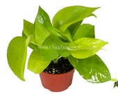 Pothos Neon - 4 quot from California Tropicals