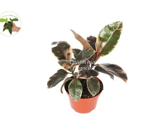 Ruby Rubber Tree - 6'' from California Tropicals