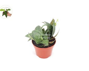 Black Pagoda (Lipstick plant)  - 4'' from California Tropicals