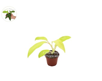 """Philodendron Lemon Lime 2.5"""" - from California Tropicals"""