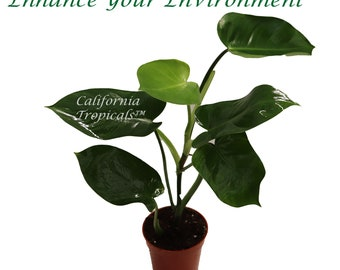 Philodendron Emerald Green  - 4'' from California Tropicals