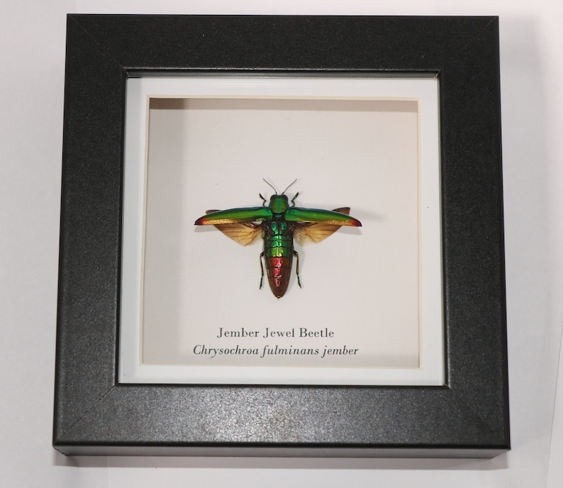 Taxidermy Real Jewel Beetle Framed Display Entomology Home Decor Insect Display