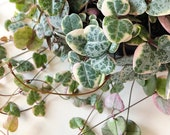 Variegated String of Hearts cutting (Ceropegia woodii 39 variegata 39 ) - Rare trailing houseplant