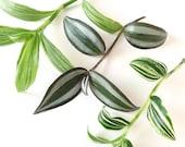 Tradescantia Cuttings Bundle - Three types - Zebrina, Quicksilver and Tricolour