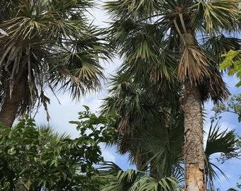 bermudana Sabal Palm Tree Collector Pack causiarum mauritiformis