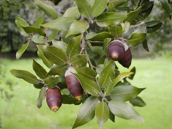 Quercus Ilex Holly oak, Evergreen oak seeds 3
