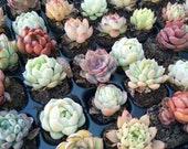 Lucky Bag - 10 Different Echeveria Randomly Korean Rare Succulent Plant 1 quot