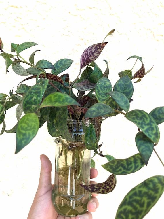 Rare Zebra Basket Vine Aeschynanthus Marmoratus Hanging Vine Plant Indoor Plant Gift Lipstick Plant Black Pagoda Easy Care Plant 6INCH
