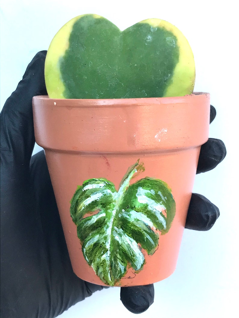 Sweetheart Hoya Variegated or Non-Variegated 4 inch fully rooted Hoya Kerrii Plant Plant Gift Heart Shaped plant Lucky Heart plant