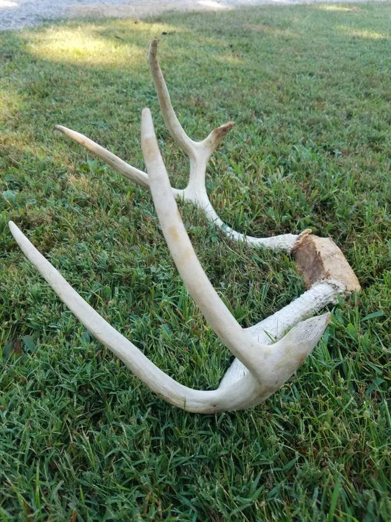 antlers on skull skulls with horns deer skull cap white tail buck antlers buck antlers deer antlers 8 point buck rack Antlers