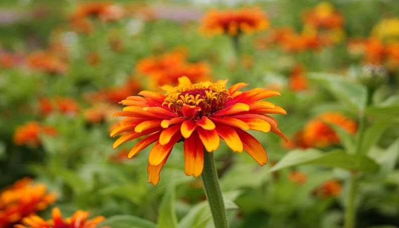 Zinnia  old Mexico seeds 20