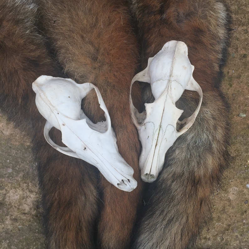 Two Red Fox Skulls for Craft Projects