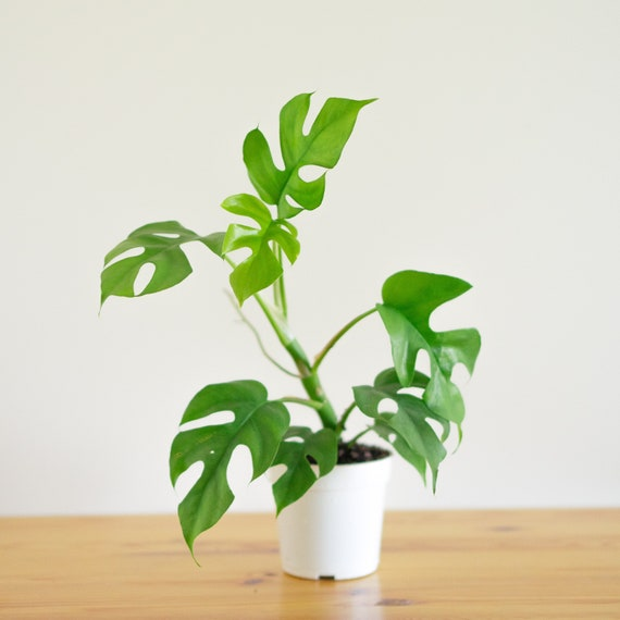 Rhaphidophora Tetrasperma Mini Monstera Philodendron Ginny | Etsy