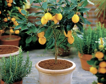 """Popular """"MEYER"""" Lemon Tree (4-5 Foot Tall) Offered by... a2z Plant Company™"""