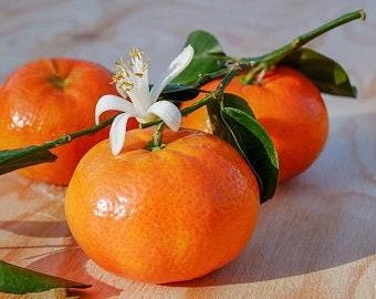 """Satsuma Rare Sweet """"OWARI'' Mandarin Tree (4-5 Foot Tall) Offered by... a2z Plant Company™"""