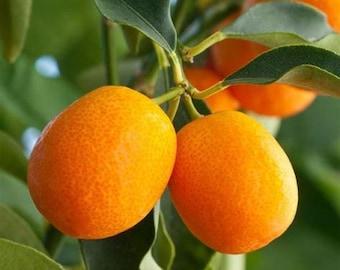 "Sweet Kumquat ""MEIWA"" Trees, Offered by... a2z Plant Company™"